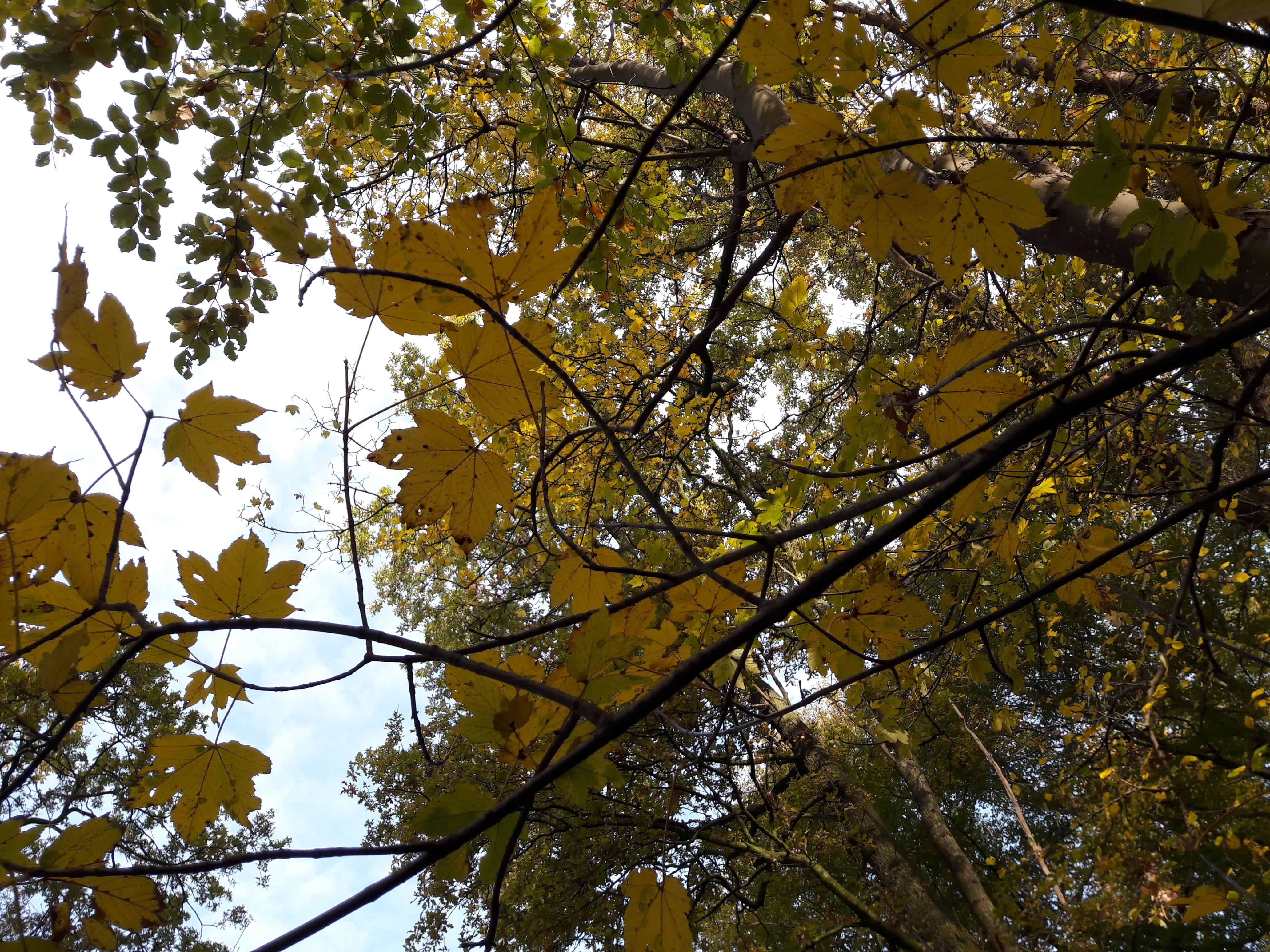 herfstbladeren geel